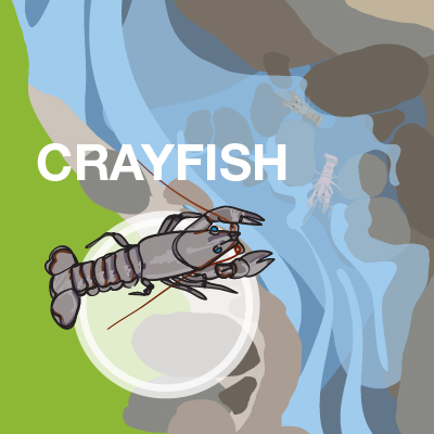 an illustration of a crayfish